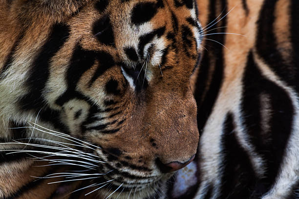 tiger portrait - tiger fur stock photos and pictures