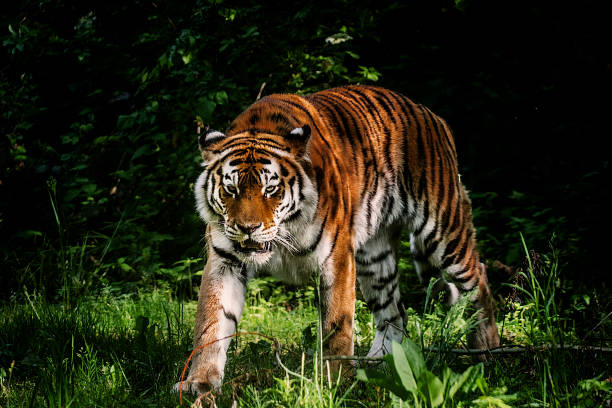 tiger portrait - carnivora stock photos and pictures