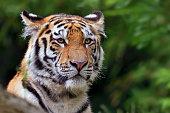 close-up of a siberian tiger