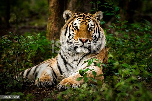 Portrait of tiger deep in the forest. It is laying down and staring into the distance. Characteristic pattern and texture of fur are clearly visible.