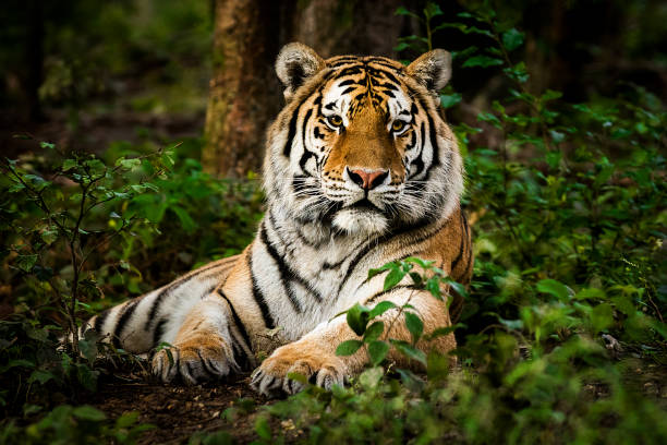 Tiger portrait Portrait of tiger deep in the forest. It is laying down and staring into the distance. Characteristic pattern and texture of fur are clearly visible. wildlife reserve stock pictures, royalty-free photos & images