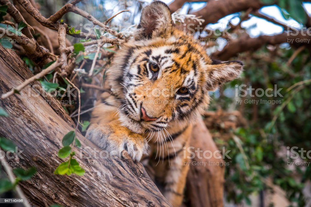Tiger portrait - wild Animal photo in Africa. Animal Freedom photo, edit space stock photo