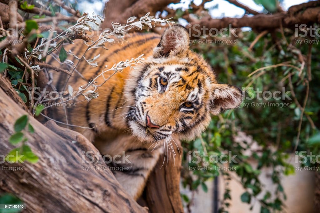 Tiger portrait - wild Animal photo in Africa stock photo