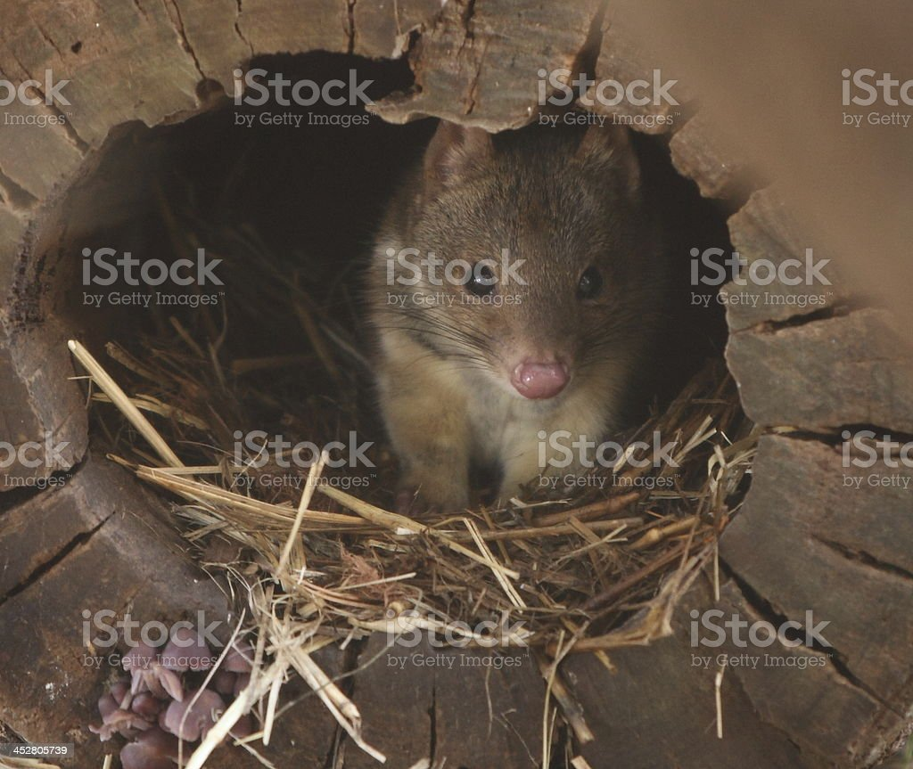 Tiger quoll royalty-free stock photo