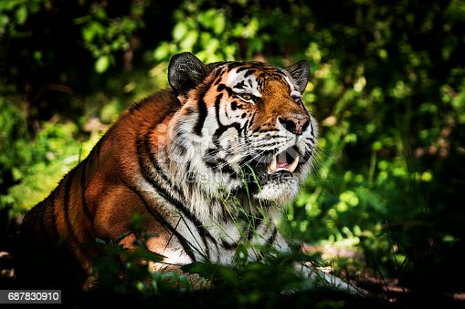Tiger is lying taut in the shadow ready for hunting. It's staring into the distance with mouth open stalking the prey. Characteristic pattern and texture of fur are clearly visible.