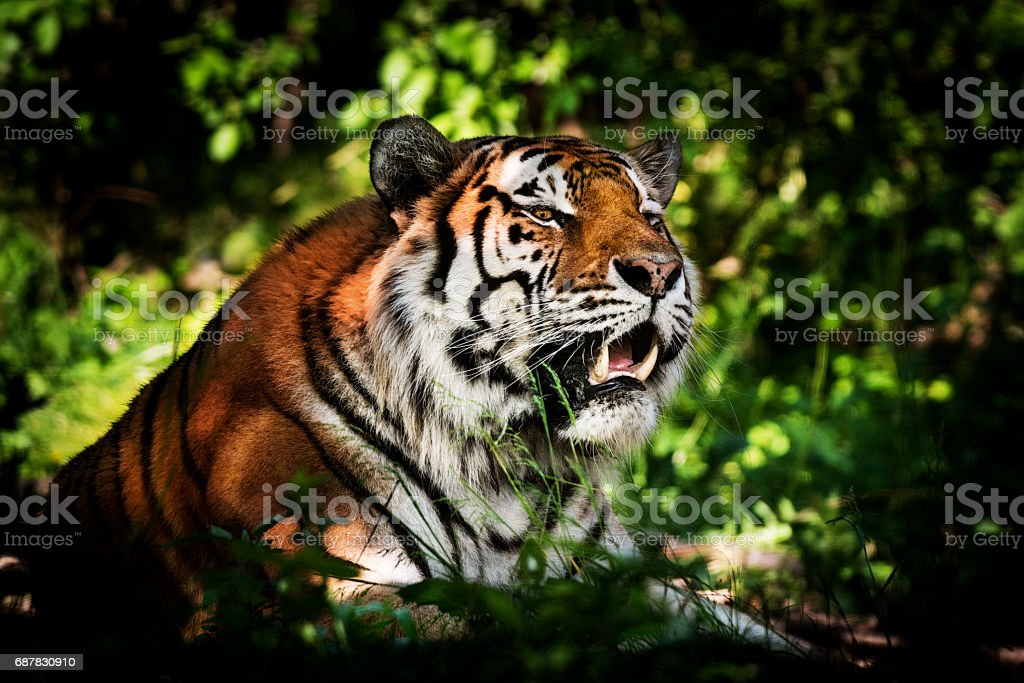 Tiger - ready for hunting stock photo