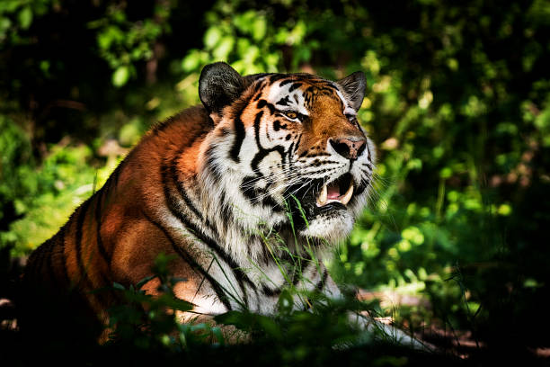 tiger - ready for hunting - carnivora stock photos and pictures