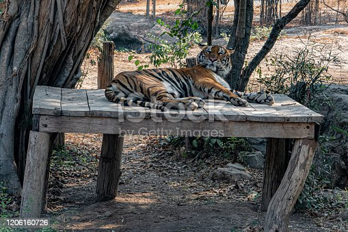 A large Asian tiger rests in the shade of a large tree in the middle of the jungle.