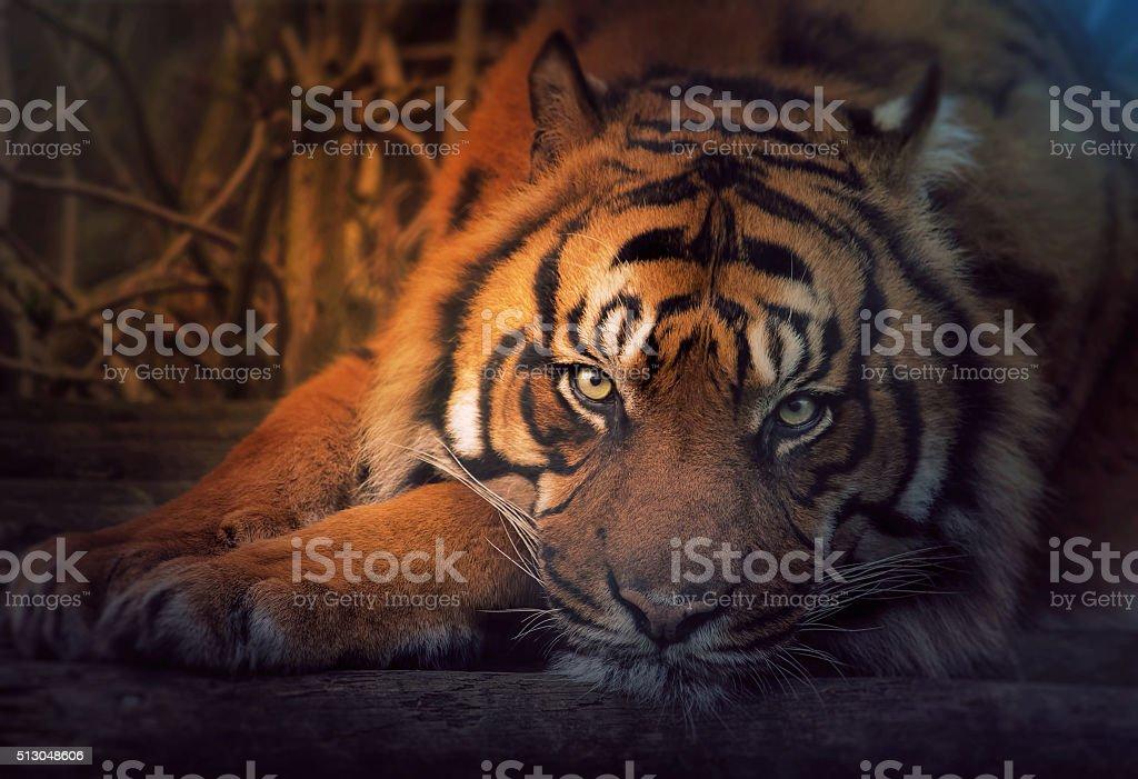 Tiger Ruhen – Foto
