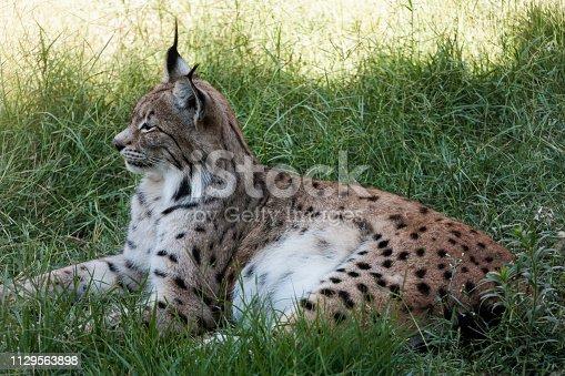 istock Tiger resting under tree 1129563898