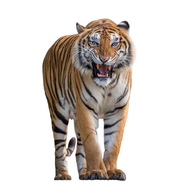 tigre rugissant isolé sur fond blanc. - tigre photos et images de collection