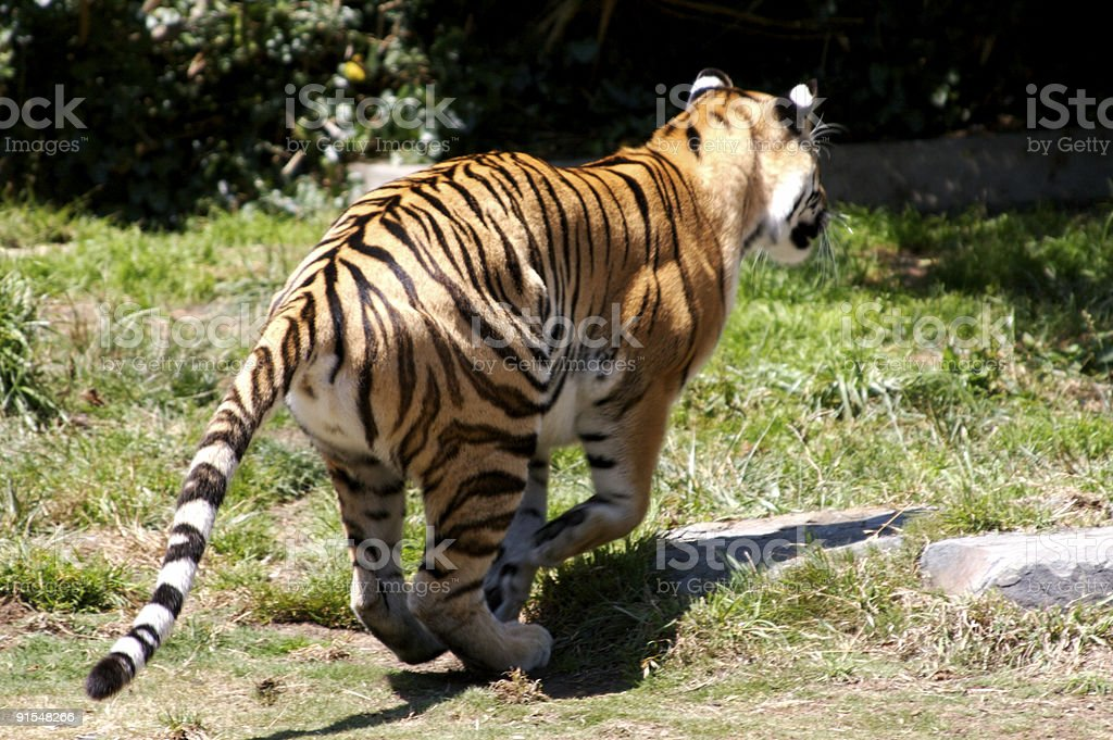 Tiger Running royalty-free stock photo