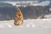 Tiger runs behind the prey. Hunt the prey in tajga in cold winter. Tiger in wild winter nature. Action wildlife scene, danger animal. Snowflake with beautiful Siberian tiger in tajga, Russia.