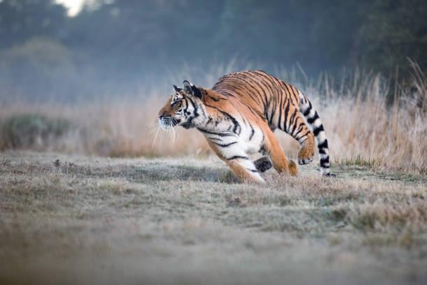 Tiger läuft hinter der Beute. Jagen Sie die Beute in Tajga in der Sommerzeit. Tiger im wilden Sommer-Natur. Tier-und Pflanzenwelt actionszene, Gefahr Tier. – Foto