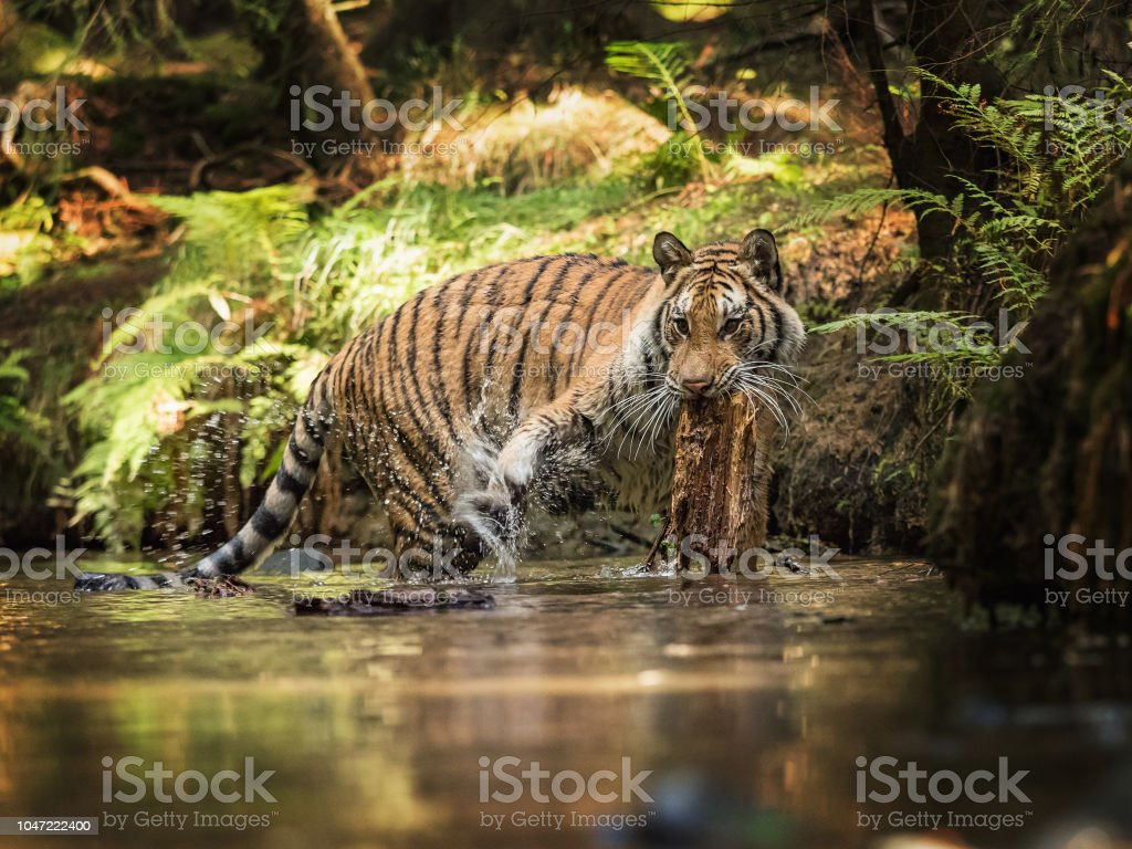 Tiger Runs Behind The Prey Hunt The Prey In Tajga In Summer Time Tiger In Wild Summer Nature Action Wildlife Scene Danger Animal Stock Photo Download Image Now Istock