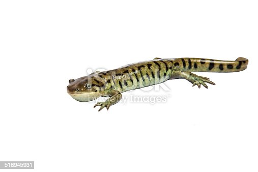 This is a photograph of a Tiger Salamander isolated on a white background.