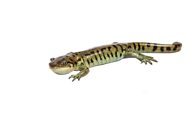 Salamandre de tigre sur blanc. - Photo