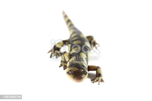 Front view of a tiger salamander, isolated on a white background.