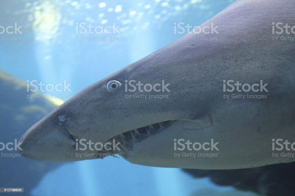 tiger sand shark close-up stock photo