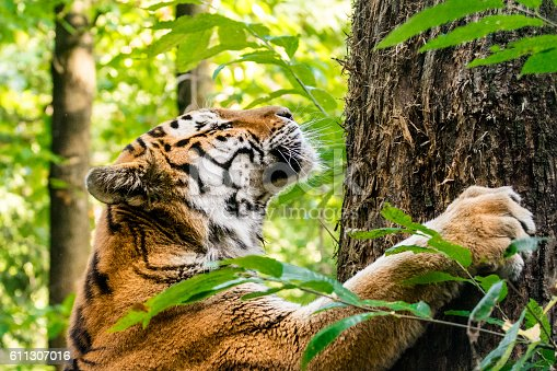 The tiger is scratching tree trunk and marking territory. It is standing upright next to a tree while scraping the bark using front legs claws. This is typical behavior for tigers in the wild, especially for males. In the background are heavily blurred treetops of forest.