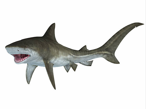 Tiger Shark Attack Posture stock photo