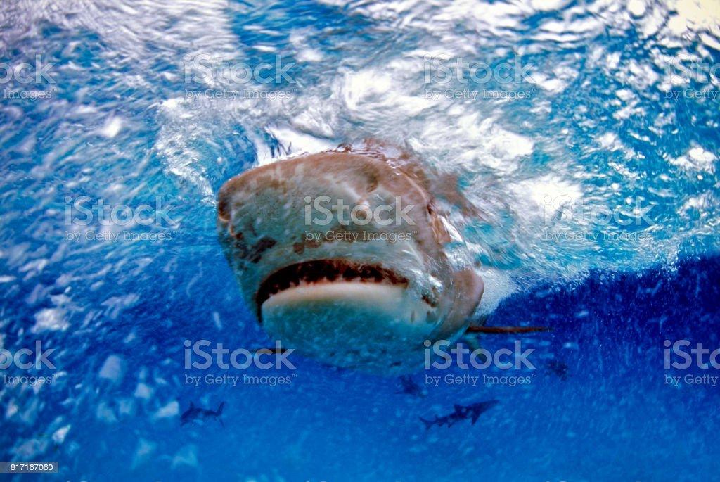 Tiger shark (Galeocerdo cuvier), Bahamas stock photo