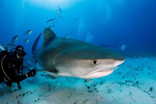 Tiger Shark Close-up stock photo