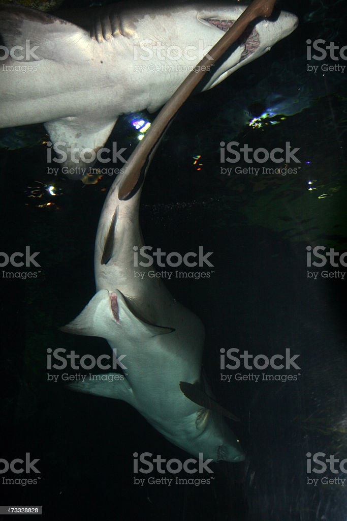 Tiger Shark (Galeocerdo cuvier) stock photo