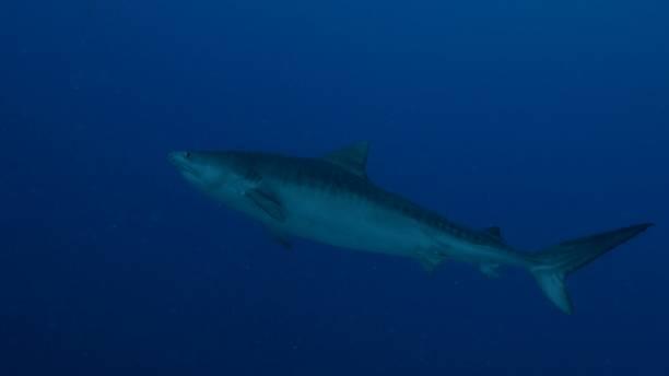 Tiger shark swimming at deep blue sea stock photo