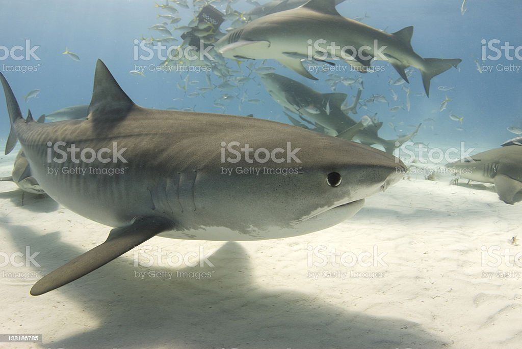 Tiger Shark with Frenzy 2 royalty-free stock photo
