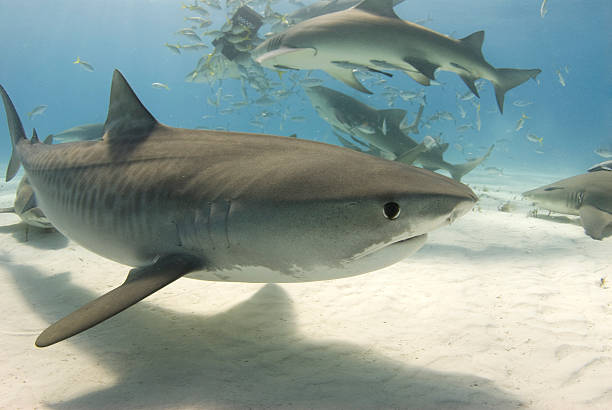 Tiger Shark with Frenzy 2 A tiger shark (Galeocerdo curvier) swims by as lemon sharks eat behind her feeding frenzy stock pictures, royalty-free photos & images