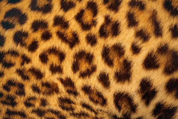 Tiger skin picture id1008719942?b=1&k=6&m=1008719942&s=612x612&w=0&h=n7bmhdlfgibds98vqxz wfgtrvshz3ohopelp6ii xs=
