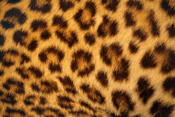 Tiger skin. Tiger skin background. animal hair stock pictures, royalty-free photos & images