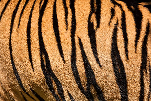 tiger skin - tiger fur stock photos and pictures