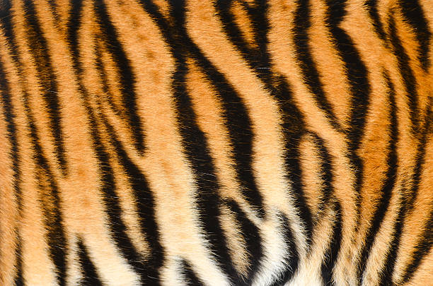tiger skin - tiger stock photos and pictures