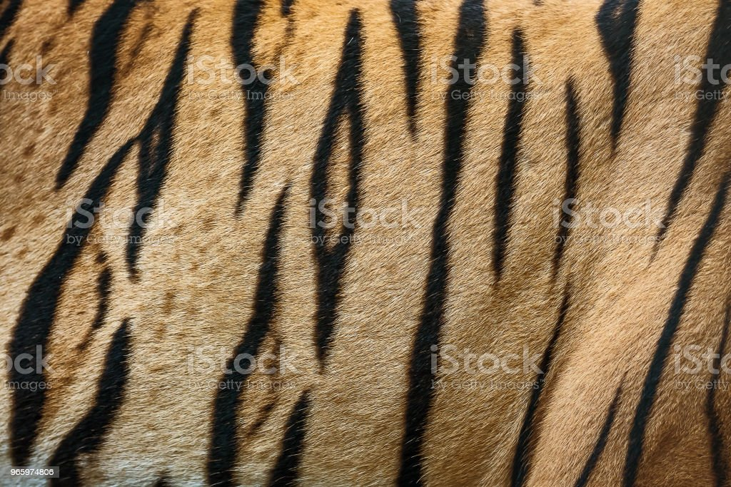 tiger skin texture. - Royalty-free Abstract Stock Photo