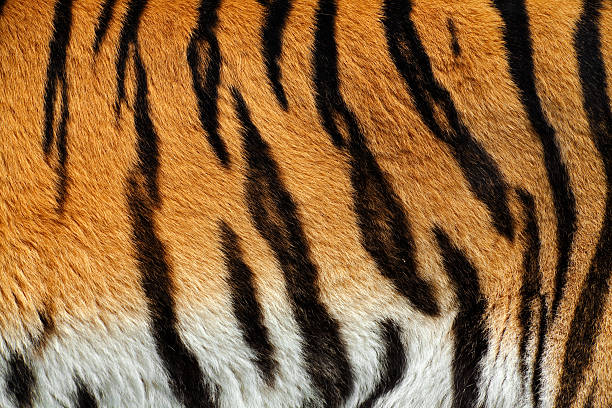 tiger skin xxxl - animal markings stock photos and pictures
