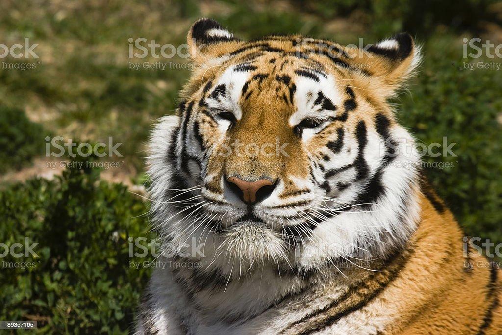 Tiger snapping royaltyfri bildbanksbilder
