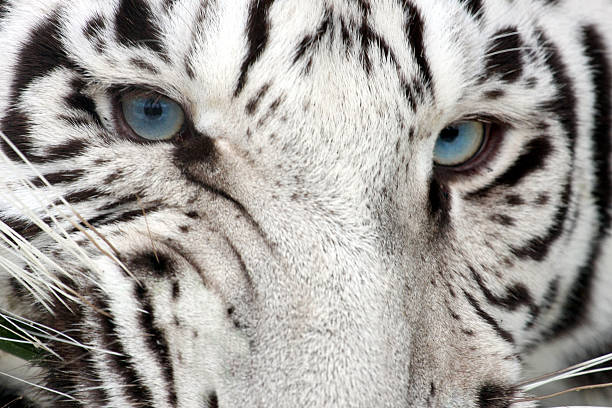 tiger snarl - tiger fur stock photos and pictures