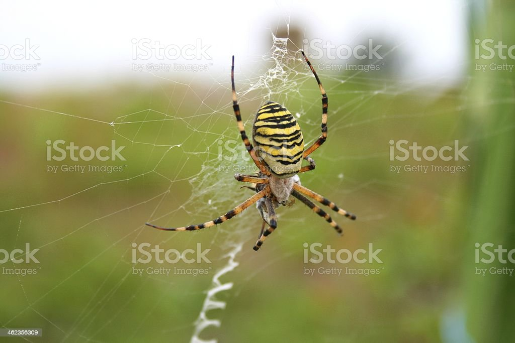Tiger spider on a green background stock photo
