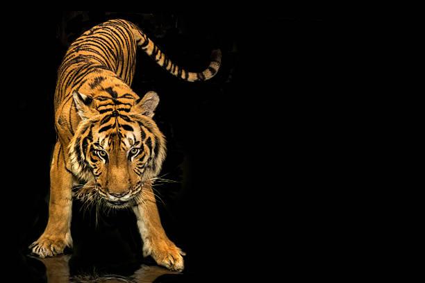 tiger zu Fuß schwarzem Hintergrund – Foto