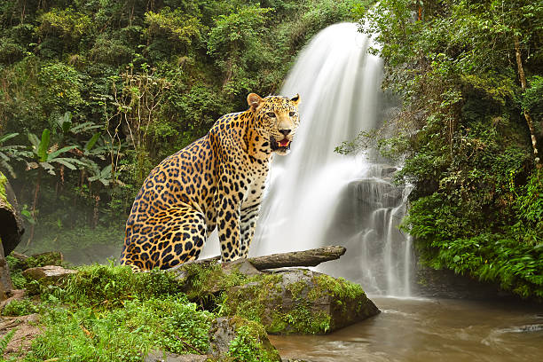 tiger standing on the rock near waterfall - amurleopard bildbanksfoton och bilder