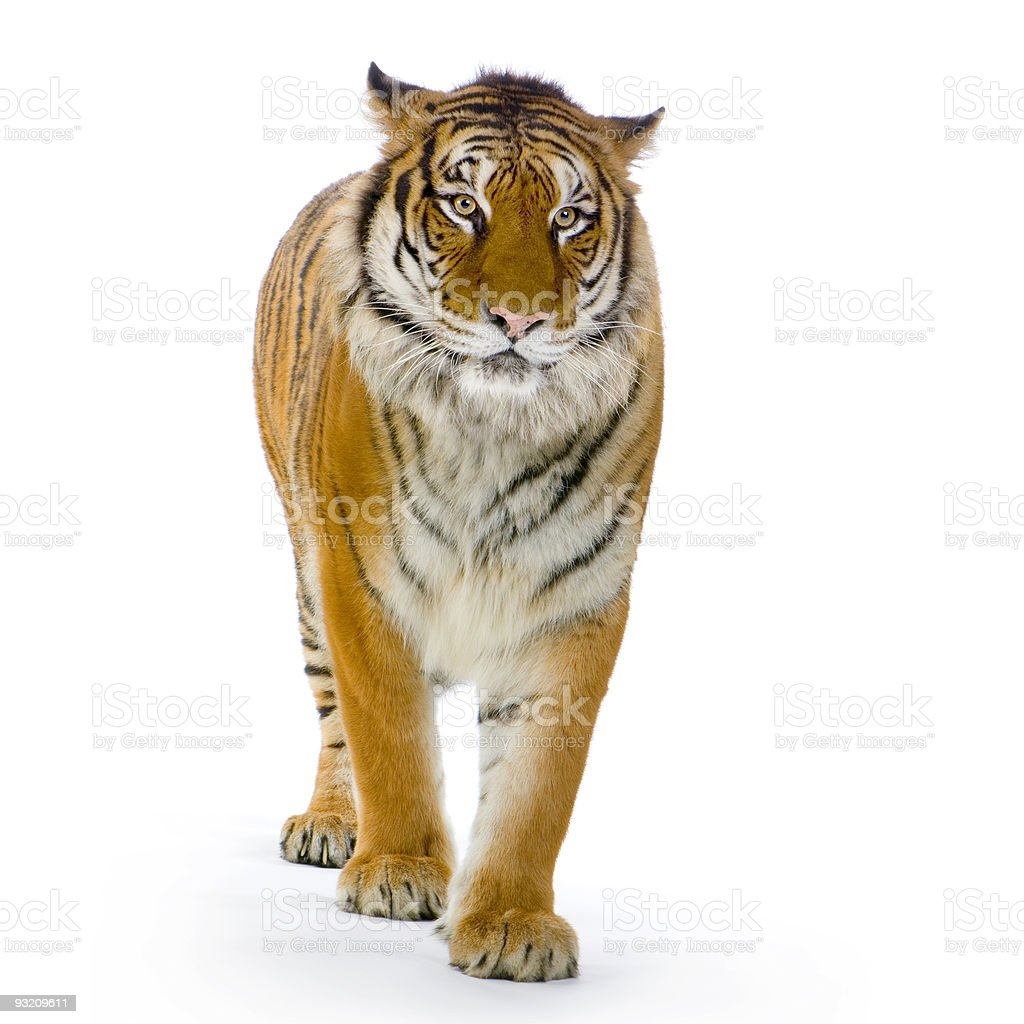 Tiger standing up stock photo