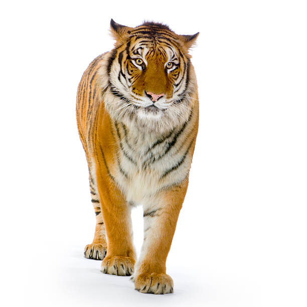 tiger standing up - bengal tiger stock pictures, royalty-free photos & images