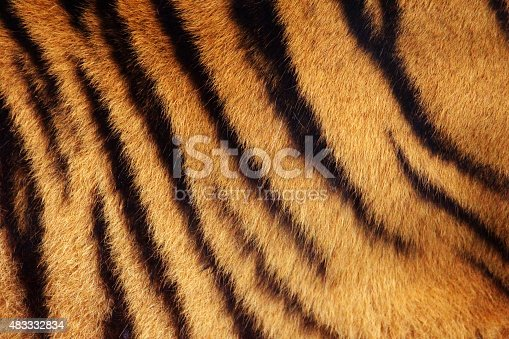 Siberian or Amur tiger stripped fur from the side background