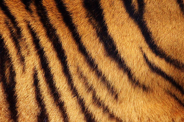 Tiger stripe background Siberian or Amur tiger stripped fur from the side background animal hair stock pictures, royalty-free photos & images