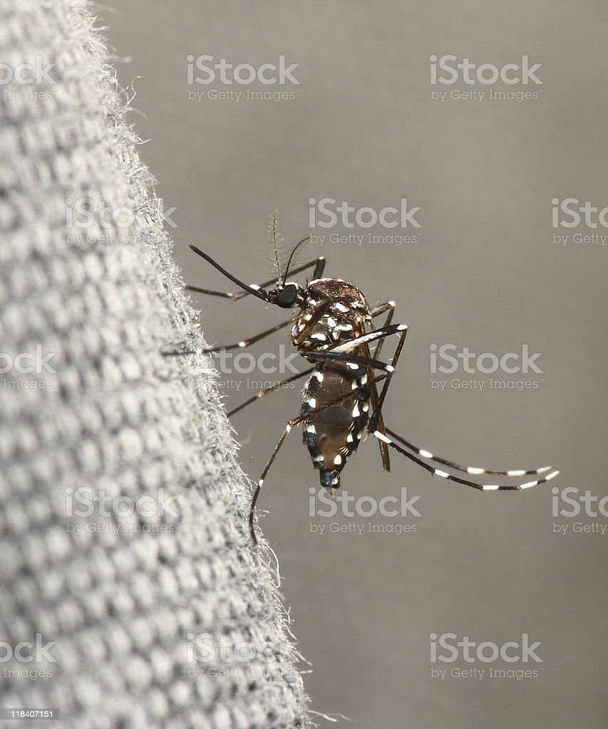 A tiger striped mosquito hovering over a surface stock photo