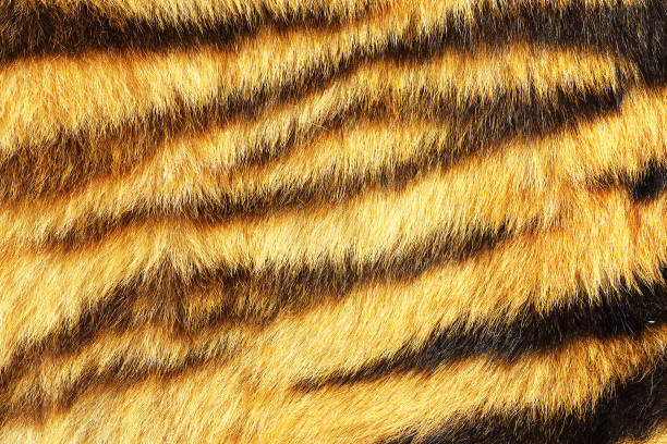 tiger stripes on real animal leather - tiger fur stock photos and pictures