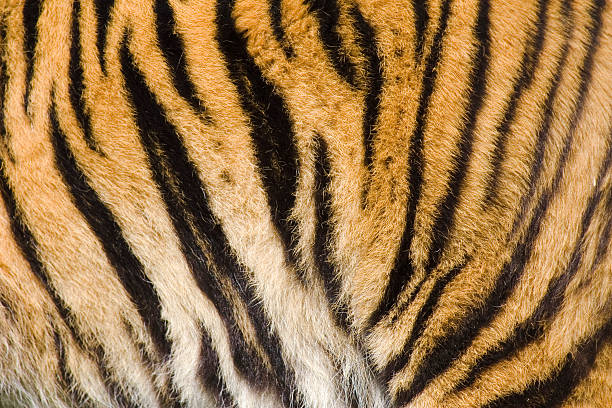 tiger stripes - tiger fur stock photos and pictures