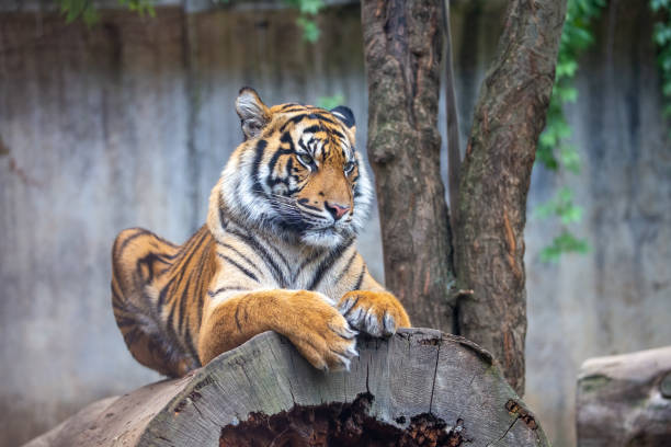 Tiger sumatran panthera tigris sumatrae wildlife animal predator picture id1168911845?b=1&k=6&m=1168911845&s=612x612&w=0&h=3dvtqy6szqcdwkuzq0so6ijloibzey5io2rj62ponms=